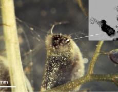 Ptygura beauchampi